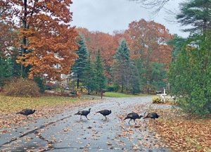 turkeys crossing a leaf covered street